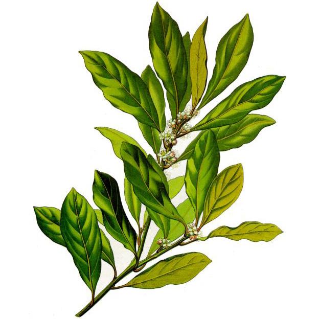 Эфирное масло бей (Pimenta racemosa)