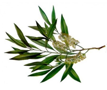 Эфирное масло чайного дерева (Melaleuca alternifolia)*