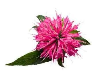 Эфирное масло монарды (Monarda fistulosa L.) 10мл.