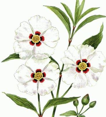 Гидролат ладанника/Cistus ladaniferus (Франция)