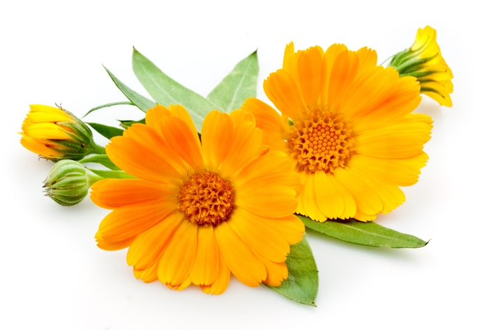 Масло календулы (мацерат)/Macerat Calendula officinalis