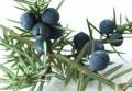 Эфирное масло можжевельника (Juniperus communis )