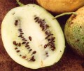 Масло арбуза/дыни Калахари (Citrullus vulgaris )