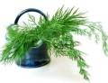 Эфирное масло укропа (Anethum graveolens) 10мл