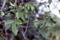 Эфирное масло равинтсара/камфорного лавра (Cinnamomum camphora feuille)