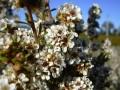 Эфирное масло фрагонии/Agonis fragrans 10мл