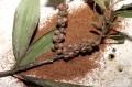 Эфирное масло найоли (Melaleuca viridiflora) 10мл