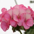 Эфирное масло герани египетской/Pelargonium  asperum Egypte