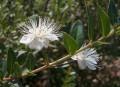 Эфирное масло мирта (Myrtus communis) 10мл.