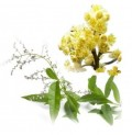 Эфирное масло литсеи кубеба  (Litsea cubeba)