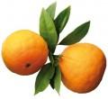 Эфирное масло петитгрейна (Апельсина горького)/Citrus bigaradia/