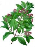 Эфирное масло розового дерева (Aniba rosaedora) 5мл