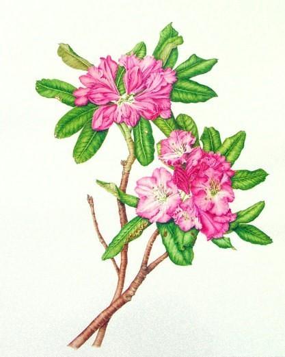 Эфирнове масло рододендрона/азалии (Rhododendron anthopogоn) 5мл