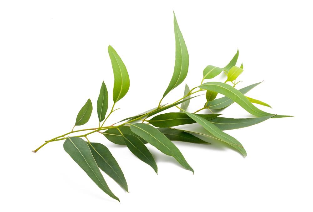 Гидролат эвкалипта/Eucalyptus globulus leaf (Франция)