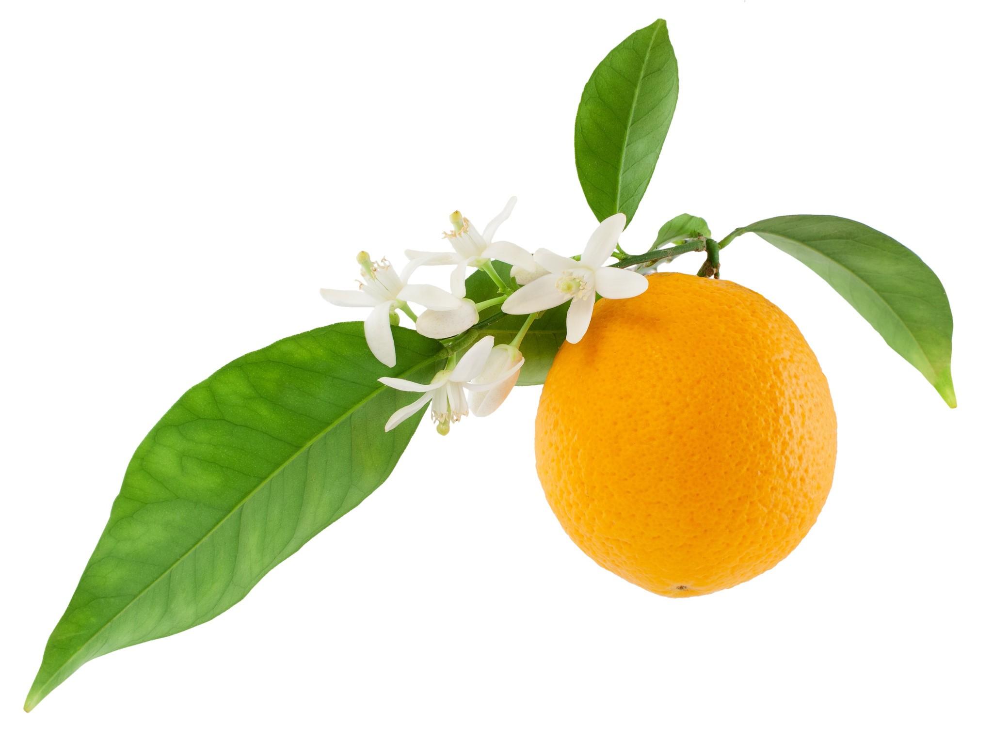 Гидролат петитгрейна/Citrus reticulata blanco var. clementine (Франция)