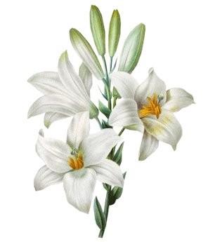 Мацерат лилии (масляный экстракт)/Macerat Lilium candidum